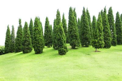 pine-tree